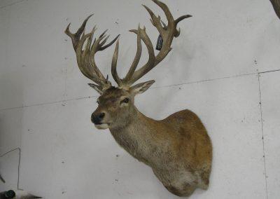 Deer Mount 4