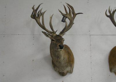 Deer Mount 5