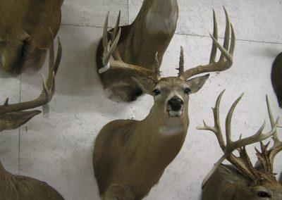 Deer Mount 8
