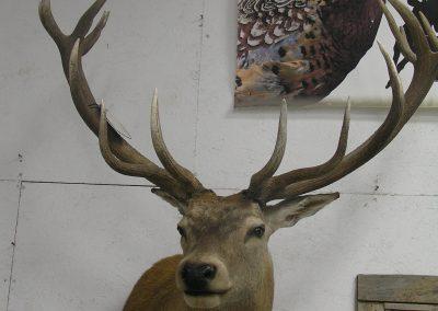 Deer Mount 11
