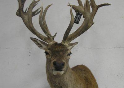 Deer Mount 12