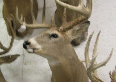 Deer Mount 13