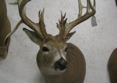 Deer Mount 14