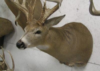 Deer Mount 15