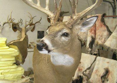 Deer Mount 16