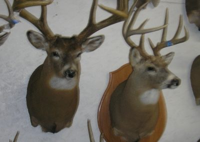 Deer Mount 17