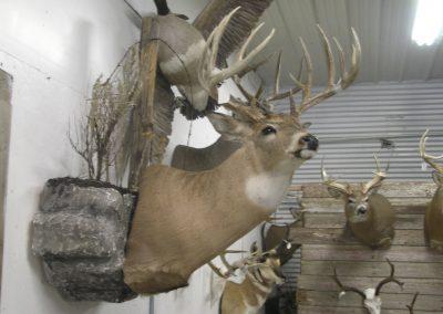 Deer Mount 2