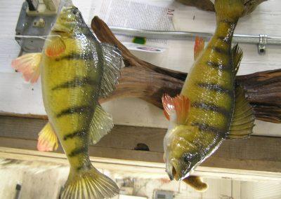 Fish Mount 14