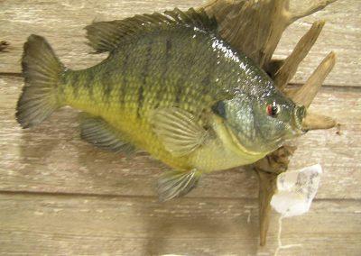 Fish Mount 15