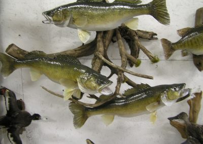 Fish Mount 17